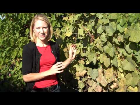 Grape Powdery Mildew in Pinot Noir Vines