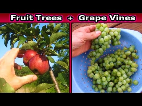 Fruit Tree UPDATE Berries Grape Vine Fig Apple Plum Cherry Orchard Trellis