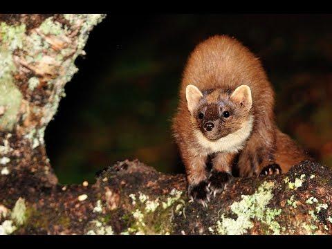 Wildlife of the Scottish Highlands