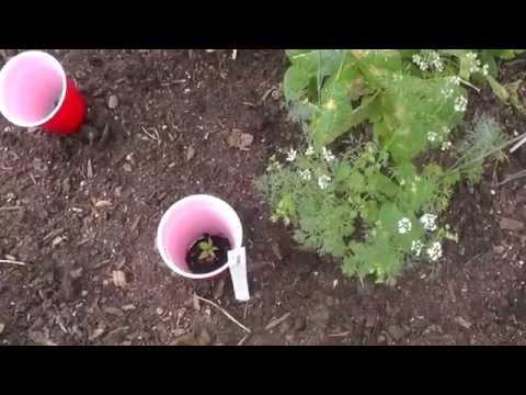 Organic Pest Control: Pill Bugs