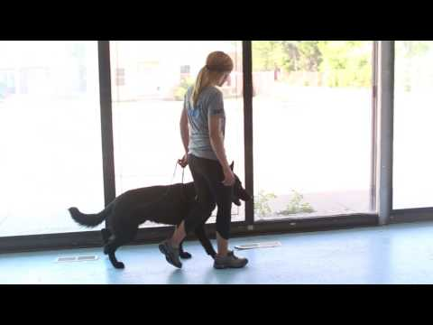 Advanced Protection Dog Training- Training an Executive Protection Dog