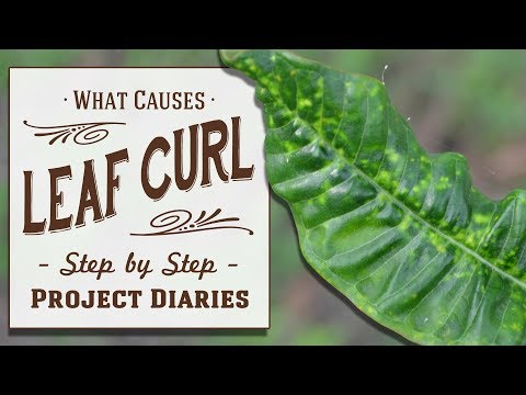 ★ How to: Diagnose & Treat  Leaf Curl / Yellowing Leaves (Inc. Lemon Tree Update)