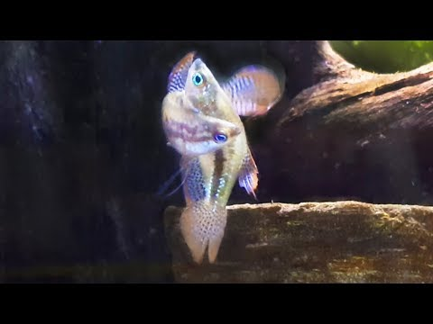 Sparkling Gouramis Breeding Again - Similar to Betta Breeding -  Eggs Didn't Hatch