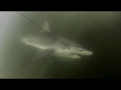 Brisbane Bull Shark (24/09/14)
