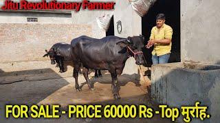 KRISHNA DAIRY FARM :VILL  FRANSWALA(KAITHAL) - PakVim net HD