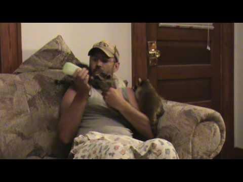 Bottle feeding baby raccoons