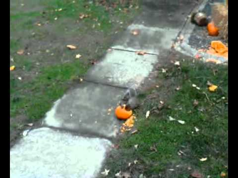 Squirrels eating our pumpkins!