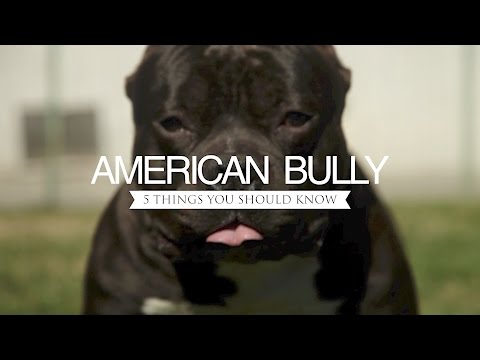 AMERICAN BULLY FIVE THINGS YOU SHOULD KNOW