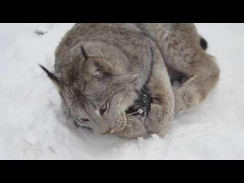 Max Canada Lynx & Kong