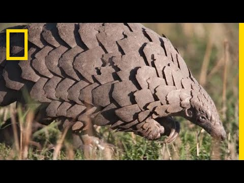Pangolins: The Most Trafficked Mammal You've Never Heard Of | National Geographic