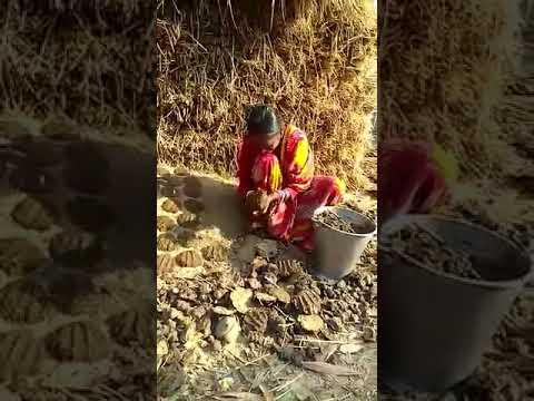 Fuel from cow dung - Rural India