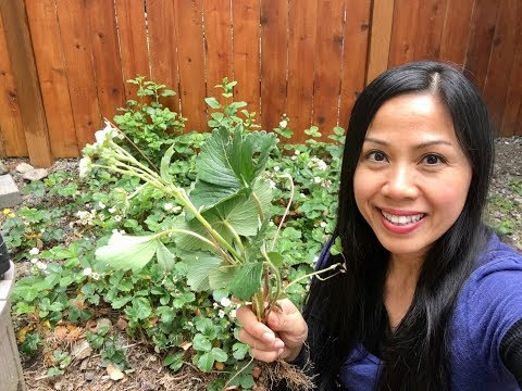 How to Get FREE Strawberry Plants Through Propagation