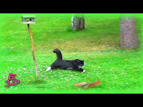 Cat chasing a squirrel