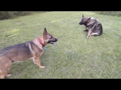 A few FAQs on a German shepherd heat cycle.