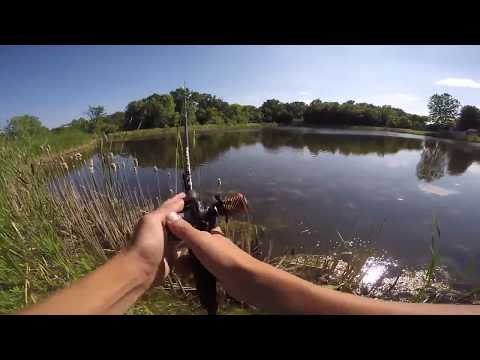 Live Target Hollow Belly Sunfish