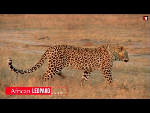 The African Leopard: A Stealthy And Solitary Hunter   1MinuteDoc