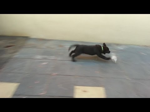 Labrador Puppy vs Plastic Bottle (Very Cute)