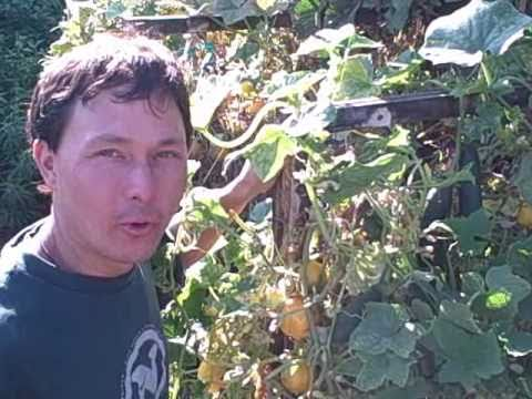 West Indian Burr Gherkin, Pepperoncini Peppers, Pepino Melon, Cuban Oregano and Kakai Pumpkins