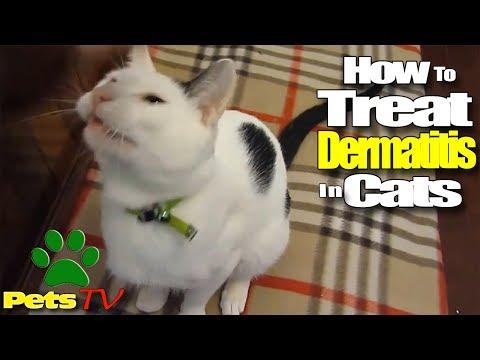 LOOK HOW TO TREAT DERMATITIS IN CATS
