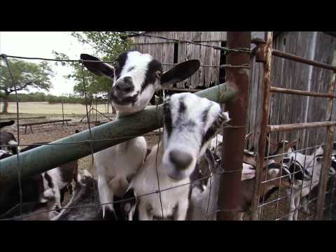 Texas Goat Cheese - Farm to Fork: America's Heartland