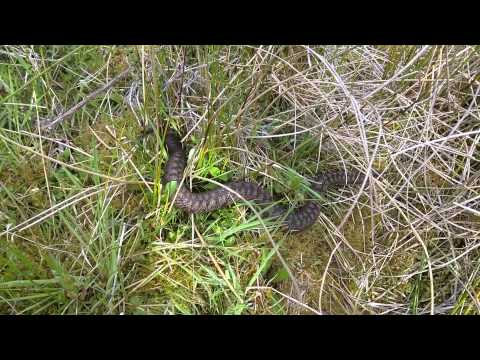 Adder hissing while out herping