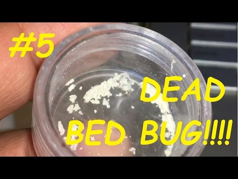 Bed bug vs Diatomaceous Earth #5  FINAL!!!