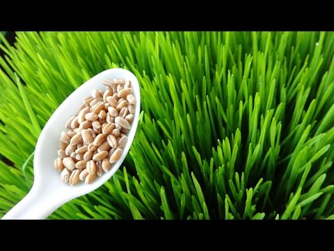 How To Grow Wheatgrass at Home  - Cheap and Easy Method