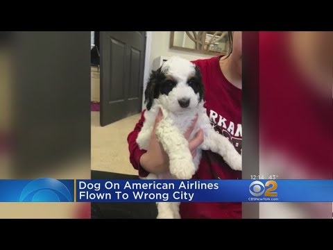 Dog On American Airlines Flown To Wrong City