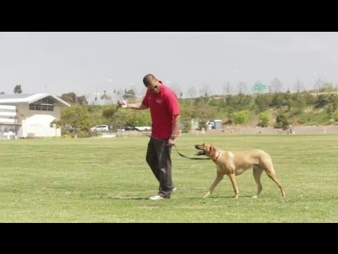 Dog Pulls & Jumps When Approaching Other Dogs : Dog Behavior & Training