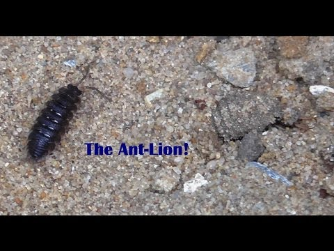 The Ant-Lion, a rare insect in the UK (short version)