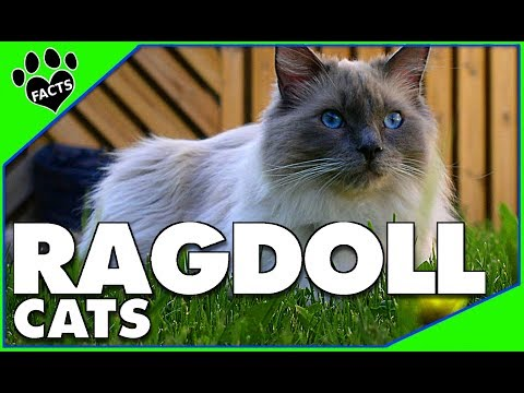 Cats 101: Ragdoll Cats Top 10 Facts Ragdoll Cats 101- Ragdoll Cat Breed - Animal Facts