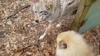 Download Coyote named Scooter - 127 - visitors Video