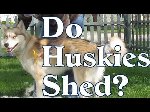 Warning about Huskies! Do they Shed? Get a FURminator! Siberian Husky Coat Blowing