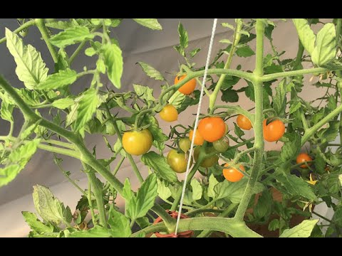 Extend Your Growing Season and get Ripe Tomatoes a Month Early