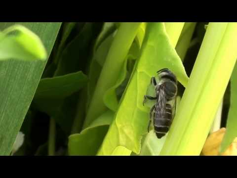 Female Leafcutter Bee Cutting Leaf To Cap a Cell