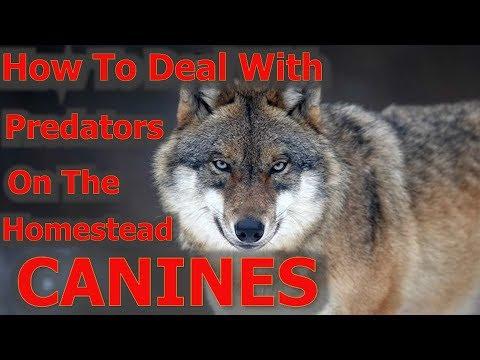 Predator Control On The Homestead E 5 Canines