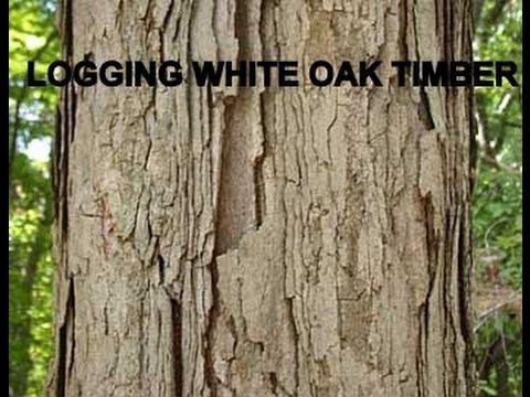 LOGGING WHITE OAK TIMBER