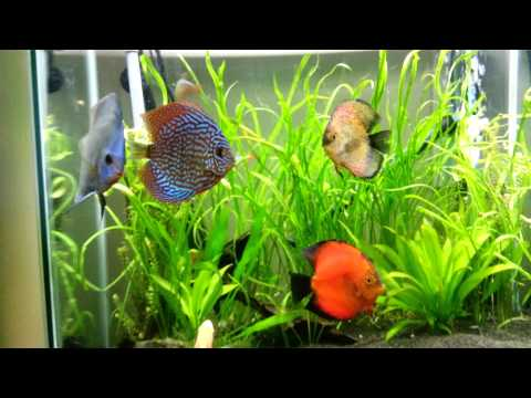 Discus laying eggs in community tank