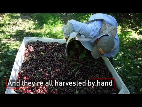 Watch The Journey of a Washington Cherry from the Tree to the Package