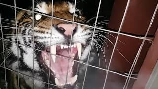 Download Best tiger roar ever ! Video