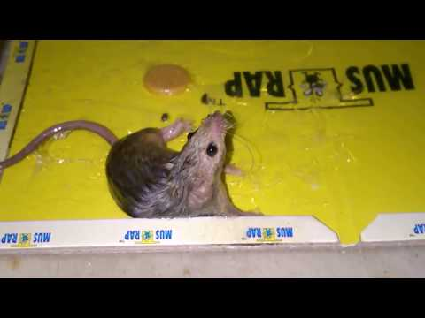 Little Mouse Got Stuck On The Glue Trap