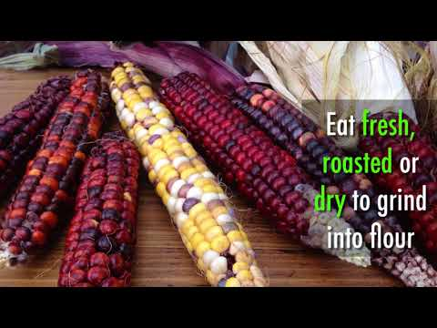 How to Grow Painted mountain corn