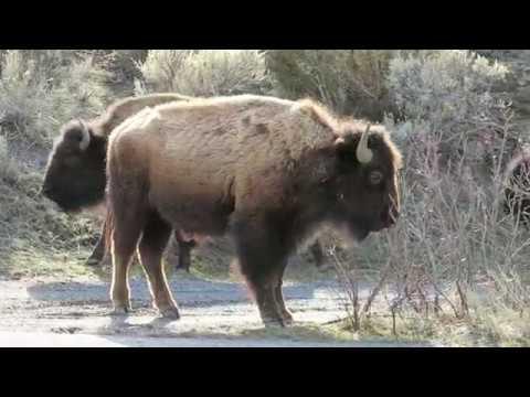 Buffalo Roam a Yellowstone National Park Campground