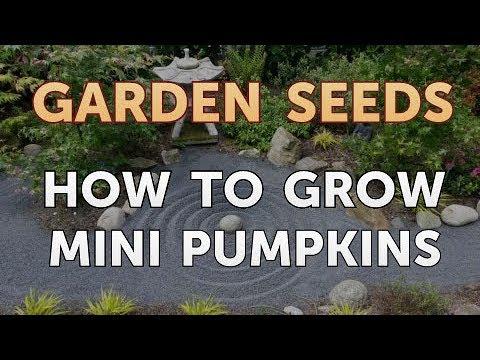 How to Grow Mini Pumpkins