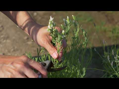 Pruning French Lavender
