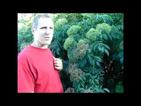 Elderberry - Should YOU Plant One?