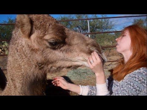 My pet camels ❤❤  جمل