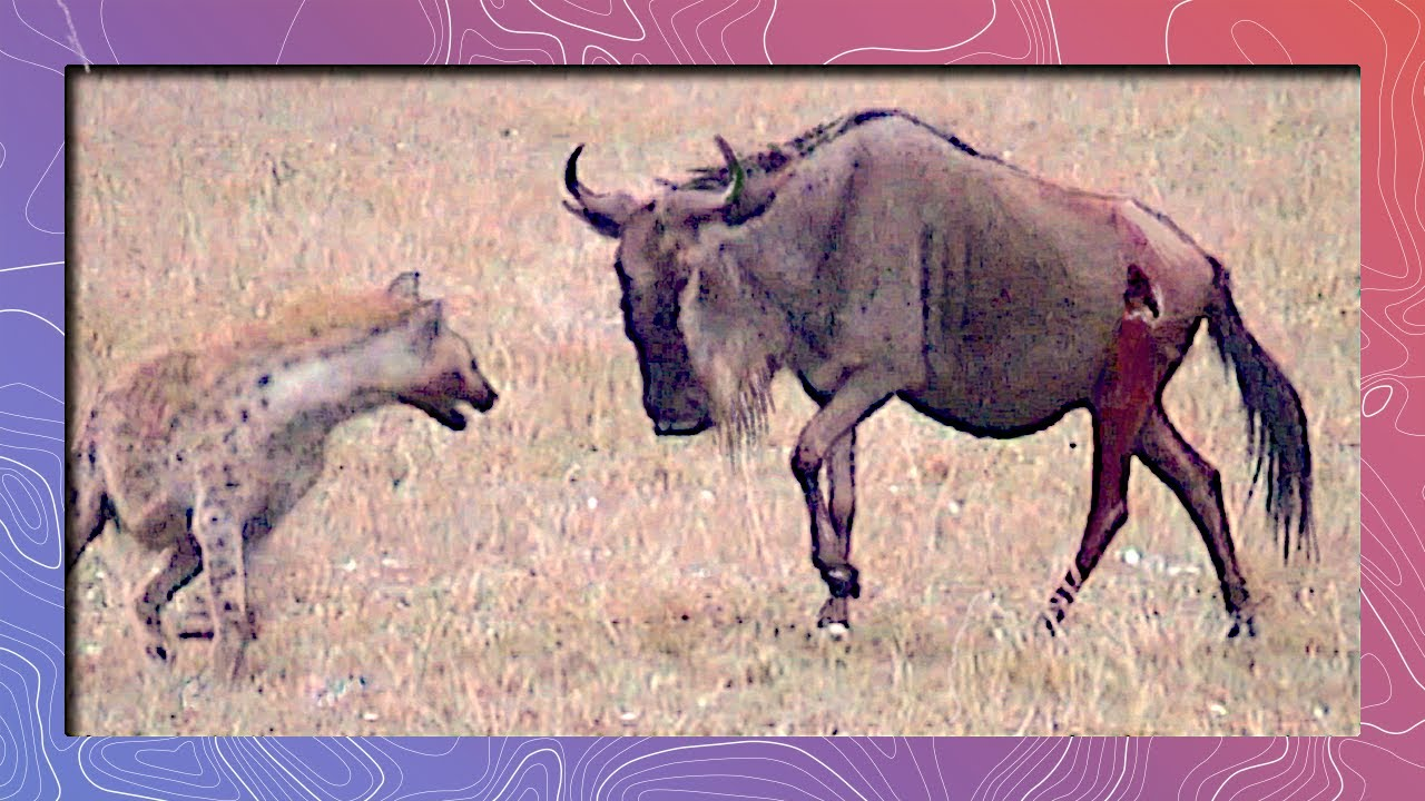 Wildebeest Struggles for Survival Against Lone Hyena Attack | Graphic