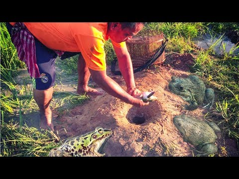 How to catch frog by making a deep hole trap