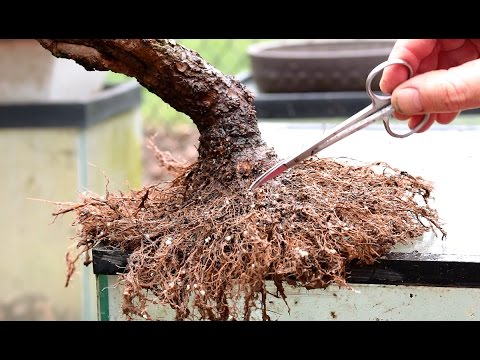 Repotting and Root Pruning a Weeping Willow Bonsai, April 2016